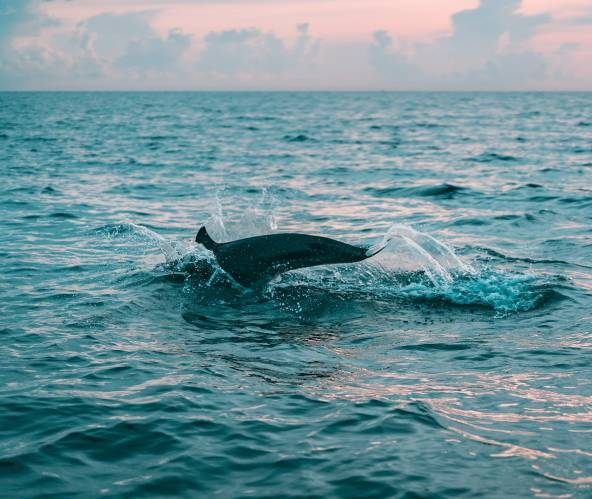 Dolphins in the natural environment