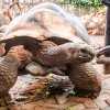 Giant turtles from Seychelles on Prison Island